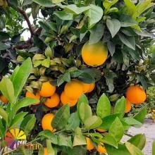 Naranja 10 Kg